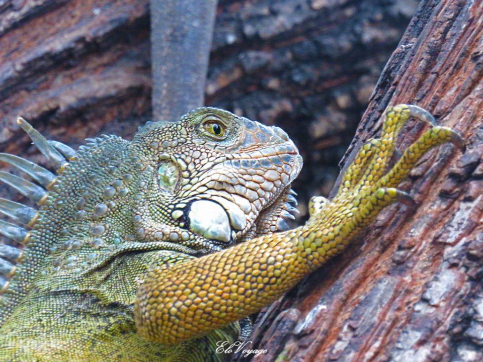 parc iguane parque seminario guayaquil équateur