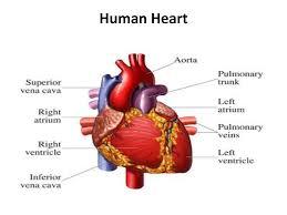 EXPLORING THE HEART