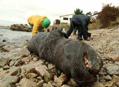 https://i2.wp.com/www.elpais.com/recorte/20070601elpepuint_4/XLCO/Ies/leon_marino_yace_vida_costa_bahia_San_Vicente_Chile_vertido_crudo_ha.jpg
