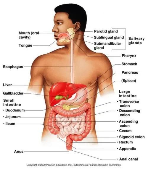 Digestive System Anatomy Diagram | Wellness Clinic