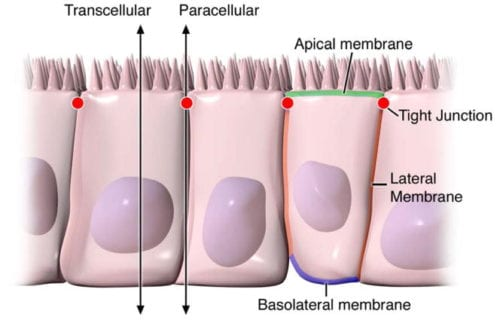 Pathways of Epithelial Permeability