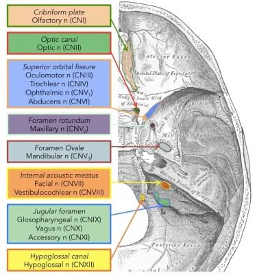 Cranial Nerves Diagram 2 | El Paso, TX Chiropractor