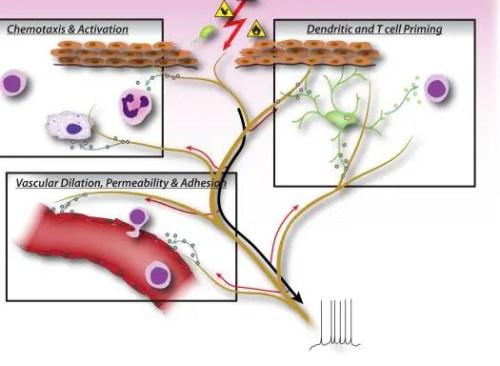Figura 2 Factores neuronales liberados de las neuronas sensoriales de Nociceptor | El Quiropráctico El Paso, TX