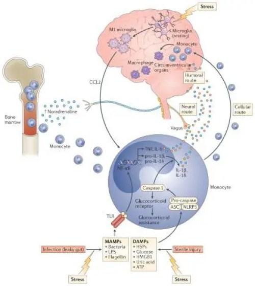 Figure 2 Transmitting Stress Induced Inflammatory Signals | El Paso, TX Chiropractor