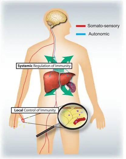 Figura 4 Sistemas Nervioso Sensorial y Autonómico | El Quiropráctico El Paso, TX