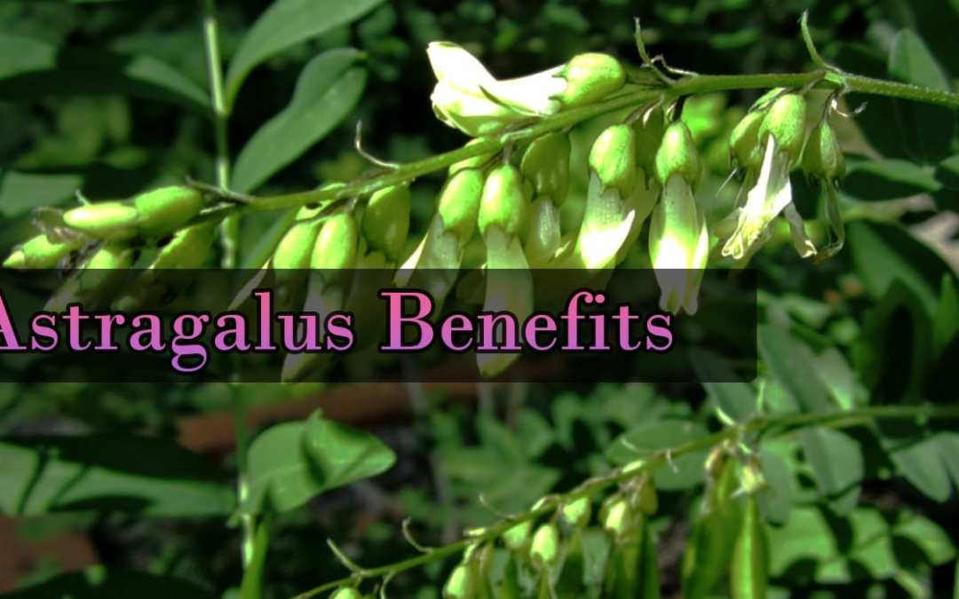 Astragalus and The Immune System