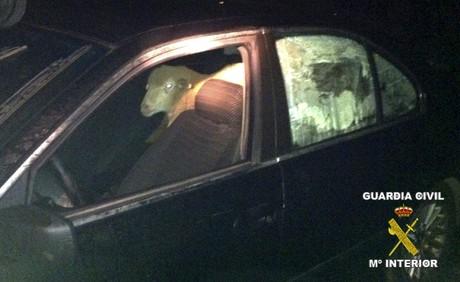 Las ovejas, en el asiento trasero del coche en que eran transportadas.