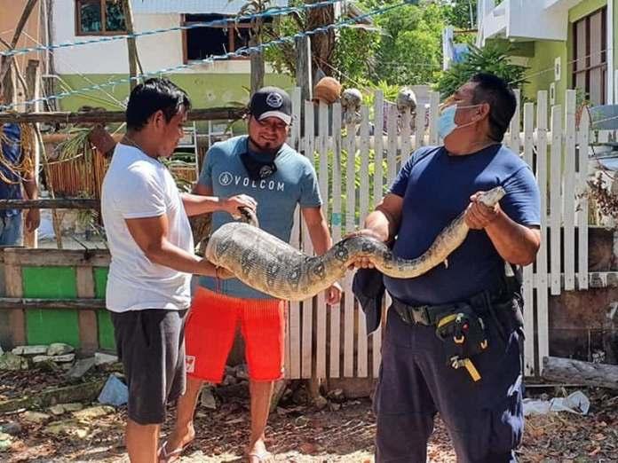 https://www.meganews.mx/quintanaroo/capturan-enorme-serpiente-en-holbox/