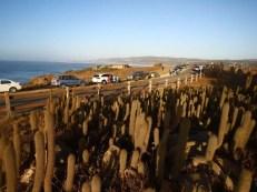 El cactus de Tanumé presente en las orillas costeras de O'Higgins y el Maule, está prácticamente en peligro de desaparecer por lo que hoy existe un proyecto para repoblar Punta de Lobos con esta especie.