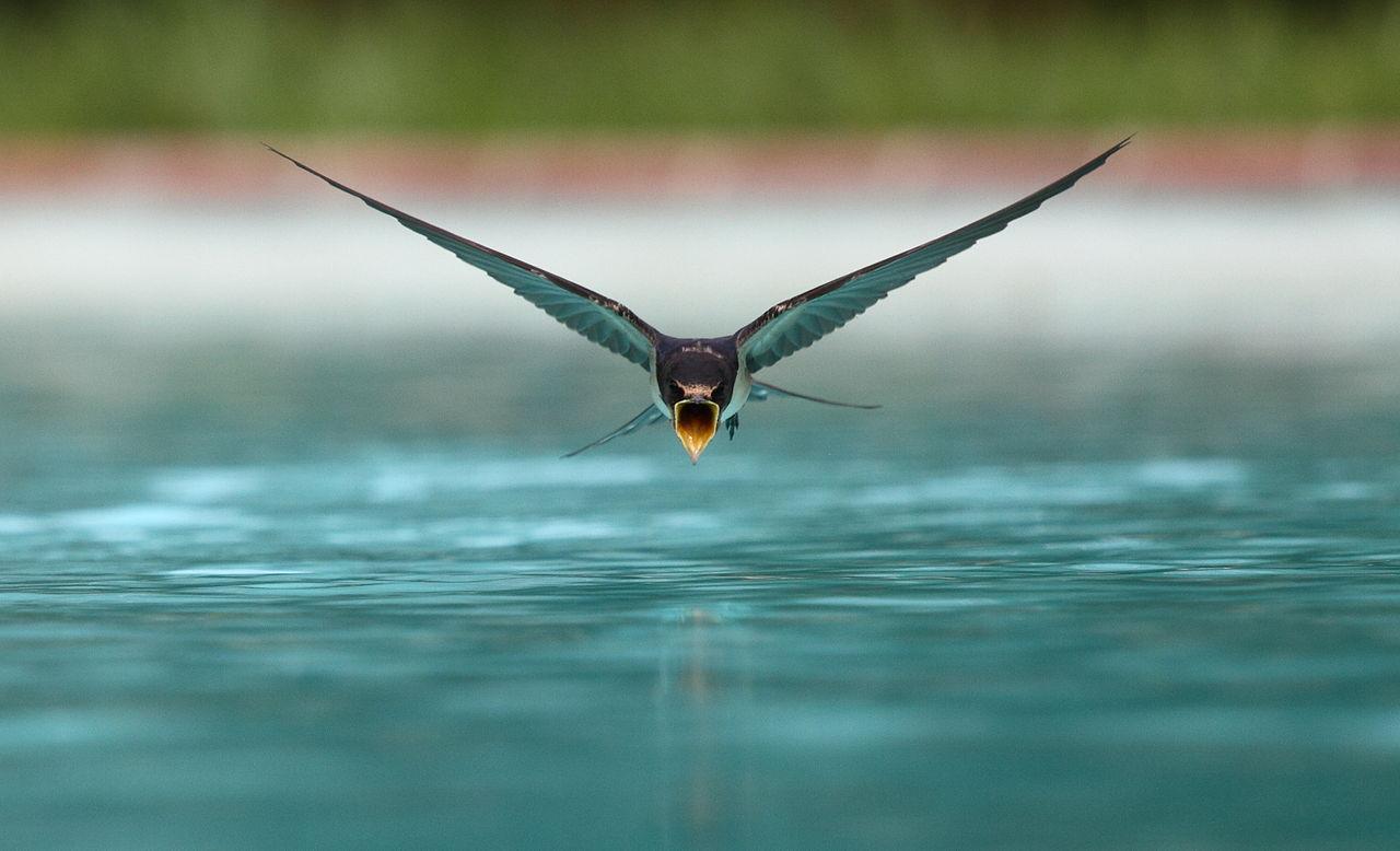 Vista cercana de una golondrina bebiendo en vuelo rasante sobre una piscina | Créditos: sanchezn [CC BY-SA 3.0 (https://creativecommons.org/licenses/by-sa/3.0)]
