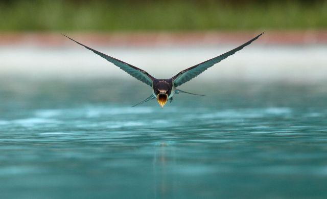 Vista cercana de un avión común (Delichon urbicum) bebiendo en vuelo rasante sobre una piscina | Créditos: sanchezn [CC BY-SA 3.0 (https://creativecommons.org/licenses/by-sa/3.0)]