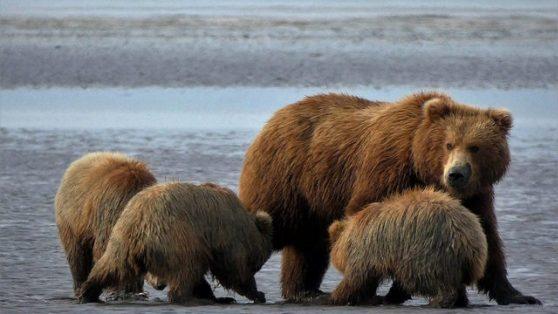 Al encuentro de los osos en Alaska (Ver osos en Alaska): El rincón de Sele