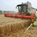 british-wheat