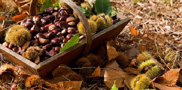 Las castañas son el fruto del castaño, que no deben confundirse con el fruto del llamado castaño de Indias, dado que estos últimos no son comestibles por su desagradable sabor.