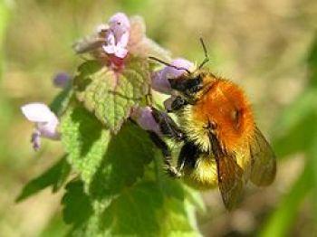 Un abellon o abejorro. El abejorro que en la citada ceremonia representa el papel de la abeja y asume y consagra sus principales condiciones viene a ser como una representación material del alma del muerto.
