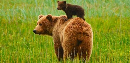 El tótem del oso significa el liderazgo, los valores familiares y la magia lunar.