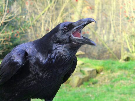El Espíritu Totem del Cuervo. Transformador, Embustero y «Creador»