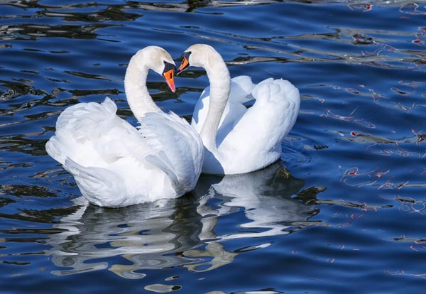 swan_lake02