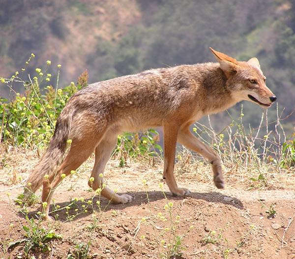 El Espíritu del Coyote, la Sabiduría del Tonto Sagrado