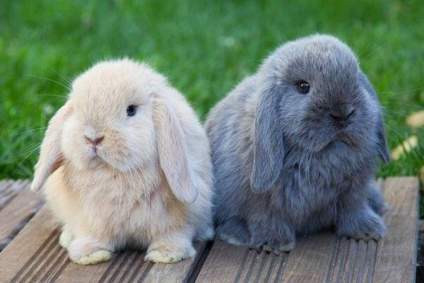 conejo-enano-belier