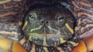 Cabeza de tortuga galapago