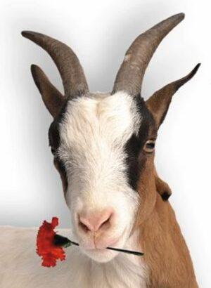 Cabra clavel