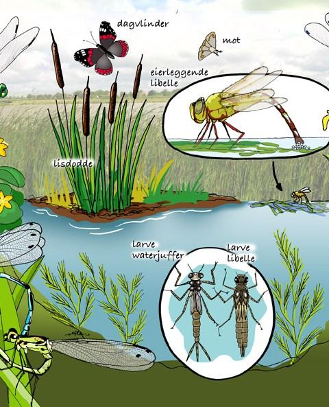 natuurplaat libelle