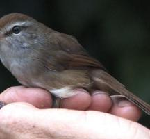 sichuan-bush-warbler-discovered-in-china-2