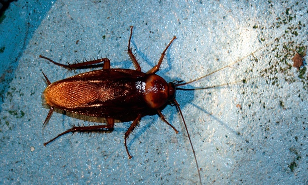 Cockroaches grind jaws five times stronger than humans