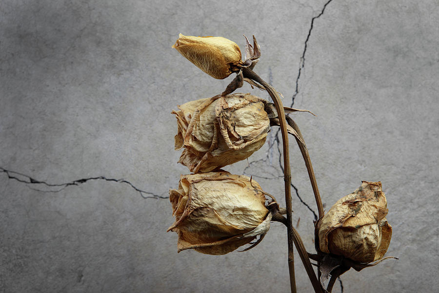 Dried Roses by Claire Eze