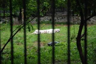 Witte Siberische tijger Novosibirsk zoopark dierentuin