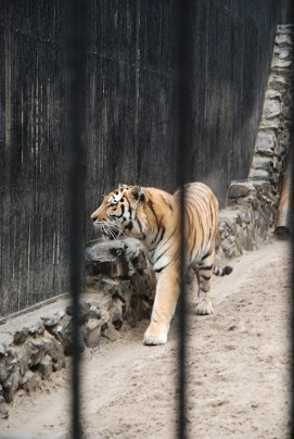 Novosibirsk zoopark dierentuin tijger