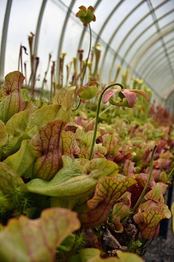 Vleesetende planten in de botanische tuinen Glasgow