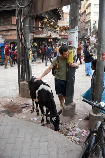 Koe op straat in Kathmandu Nepal