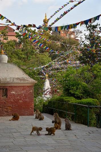 Apen bij de monkey tempel Swayambhu Kathmandu