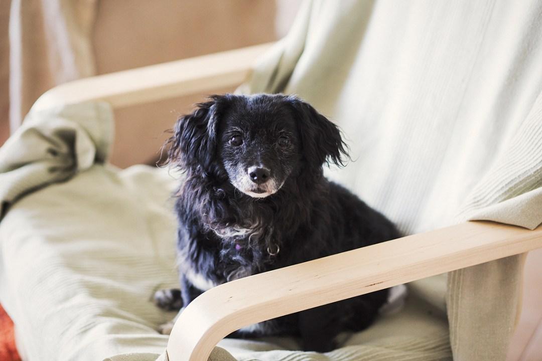 retrato de perro en sillón