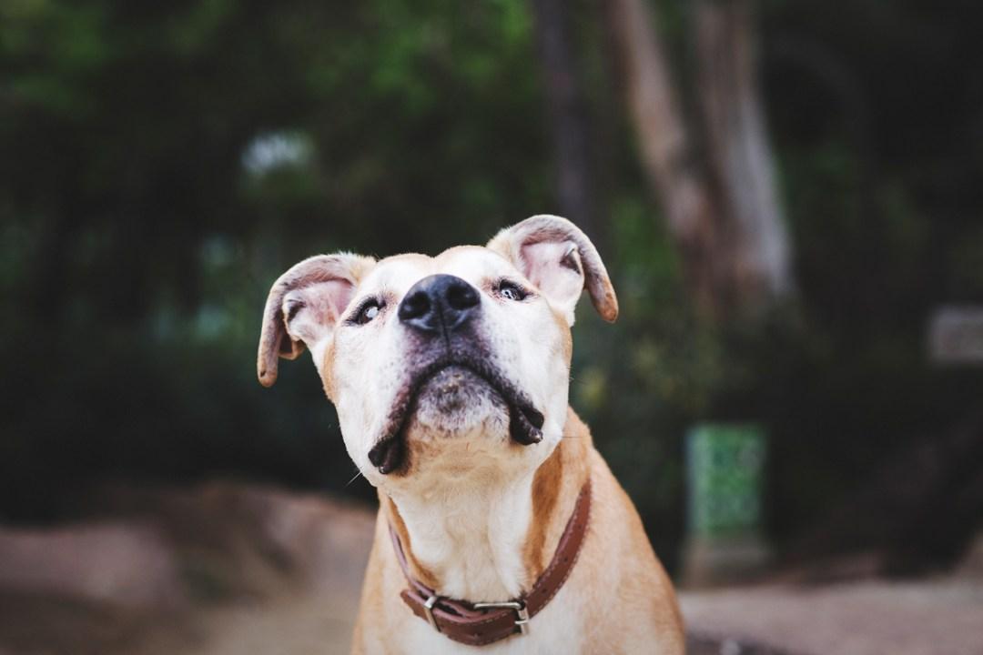 reportaje de perro PPP retrato American Stanford