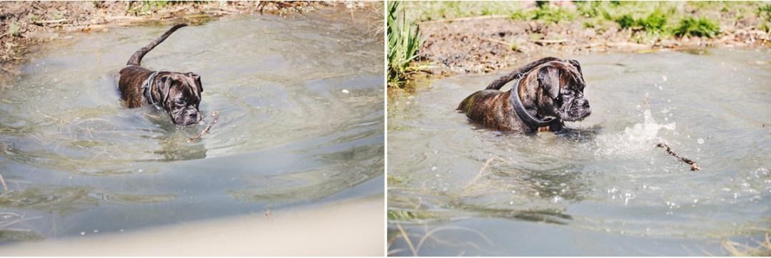 Bóxer bañándose en el Estany de Banyoles