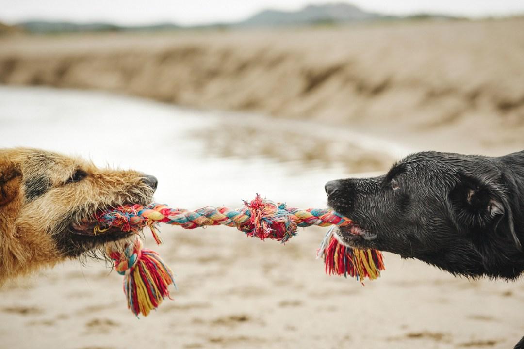 dos perros estiran un juguete cuerda