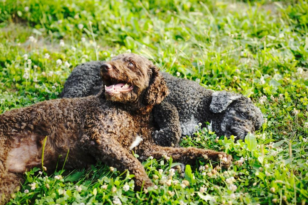 dos perros de aguas estirados en la hierba