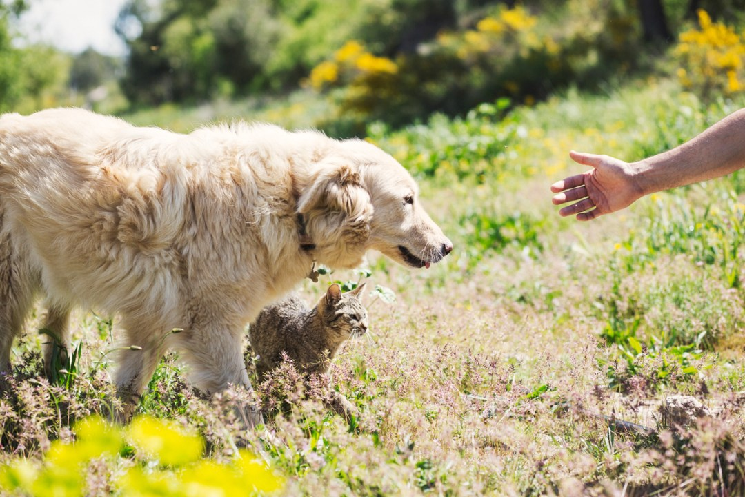 golden retriever y gato en el campo