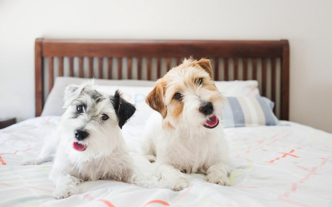Fotógrafo de Mascotas: Dos jack russell afortunaDoGs