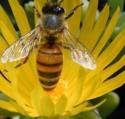 abeja, apicultura