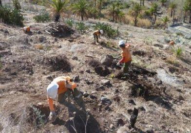 El Cabildo planta más de 1.700 ejemplares de especies arbóreas de  monteverde para recuperar zonas forestales