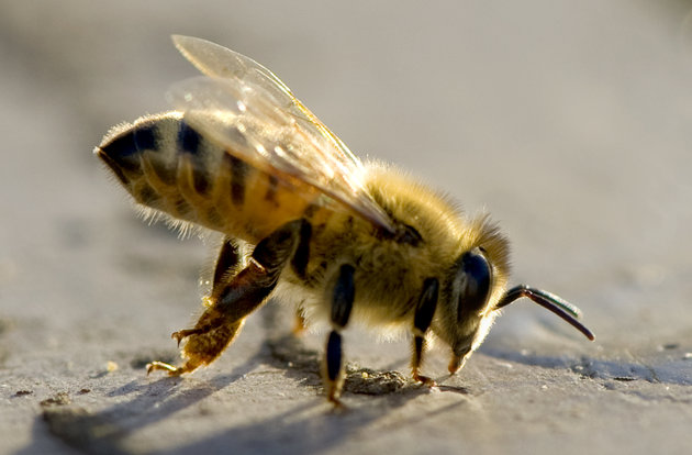 Our Chemicals Are Killing Honey Bees' Sex Lives