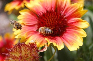 800px-Bees_on_flower