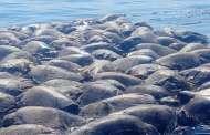 Mueren más de 100 tortugas golfinas atrapadas en redes, en Oaxaca