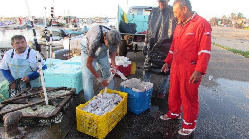 Arribazón de calamar, alivio de pescadores