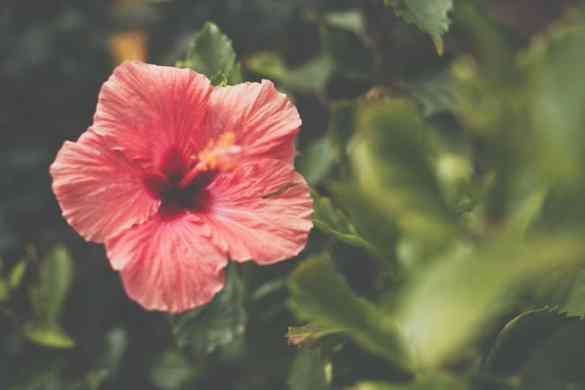Infusión de hibisco para adelgazar
