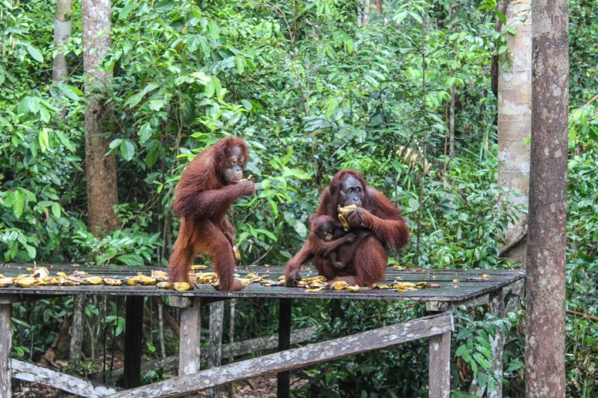 orangutanes-en-borneo-15